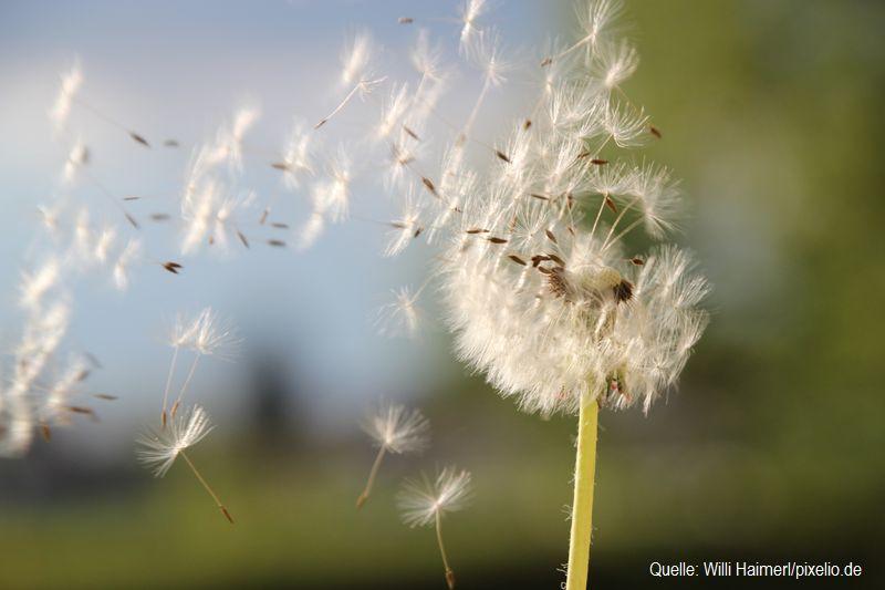 Heuschnupfen - Pollen by Willi Haimerl-pixelio.de